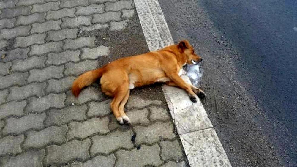 Cane avvelenato al Bivio della Madonnuzza a Petralia Soprana