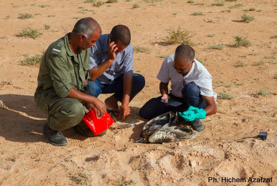 Il capovaccaio bianca ritrovato dagli ornitologi in Tunisia